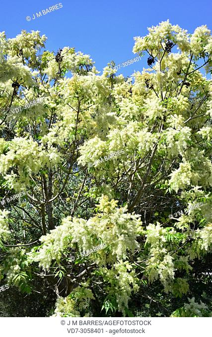 Manna ash (Fraxinus ornus) is a deciduous tree native to south Europe and southwest Asia. . Inflorescences and leaves detail