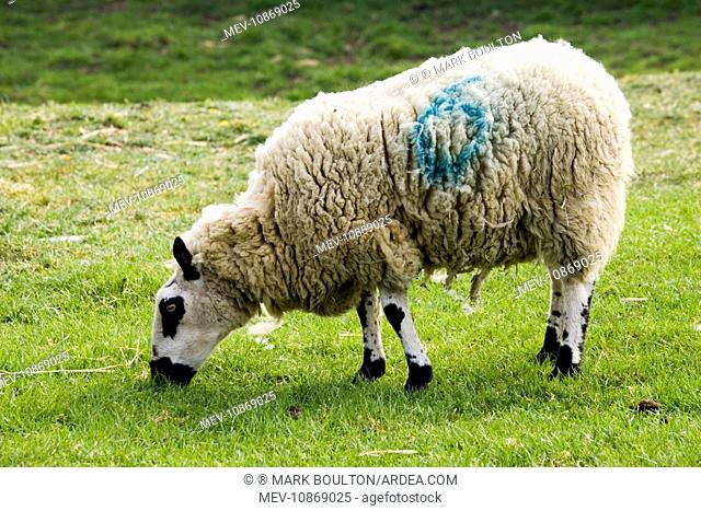Kerry Hill sheep grazing Cotswold Farm Park. UK. Developed in the village of Kerry in the early 1800s the breed has attractive black facial features and the...