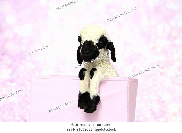 Valais Blacknose Sheep. Lamb (5 days old) in a pink box. Studio picture against a pink background. Germany