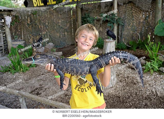 Tourist holding American alligator or gator (Alligator mississippiensis), Billie Swamp Critter Show, Big Cypress, Seminole-Country, Everglades, Florida, USA