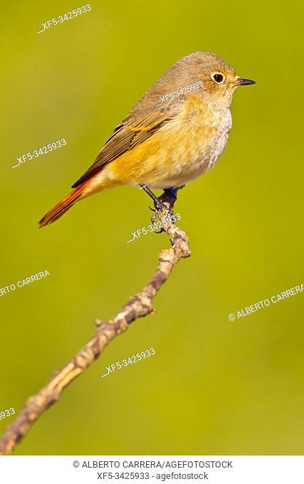 Female Redstart, Phoenicurus phoenicurus, Colirrojo Real, Castilla y León, Spain, Europe