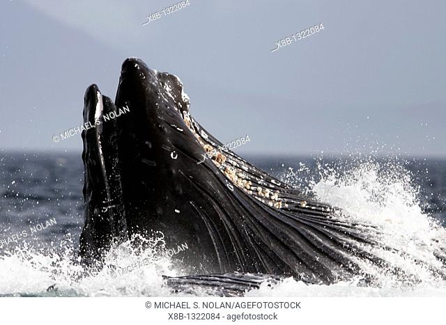 Humpback Whale Megaptera novaeangliae co-operatively bubble-net feeding detail on single animal in Southeast Alaska, USA