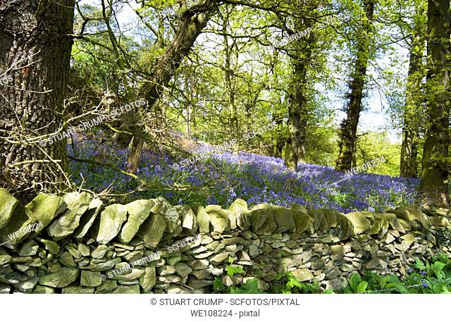 Bluebell Woods, Windmill Hill, Woodhouse Eaves, Leicestershire, England, United Kingdom