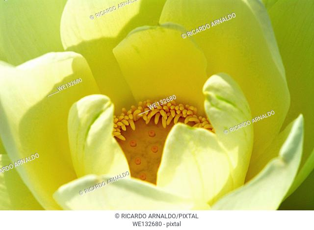 Opening Lotus Flower