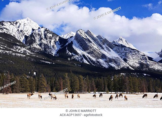 Herd of elk in the Athabasca River Valley feeding below the Colin Range of mountains, Jasper National Park, Alberta, Canada in the Canadian Rockies