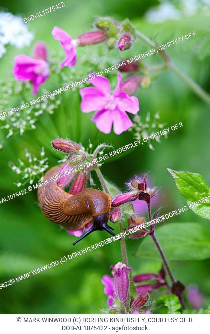 Slug on geranium
