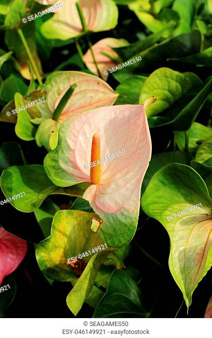 Flamingo flower at beautiful in the nature