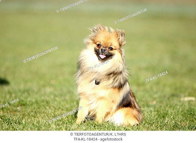 sitting Pomeranian