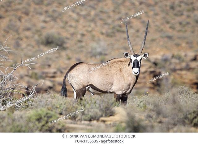 Gemsbok in Karoo National Park, South Africa