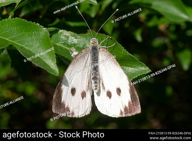13 August 2021, Lower Saxony, Laatzen: A butterfly, a Large Cabbage White (Pieris brassicae), sits in an orchard in the Hannover region