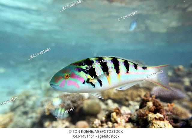 tropical fish in Tuvalu