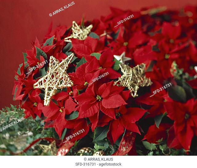 Red poinsettia with gold stars