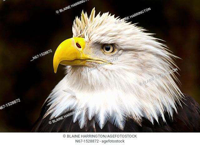 Bald eagle Haliaeetus leucocephalus, Deer Mountain Tribal Hatchery and Eagle Center, Ketchikan, Alaska USA