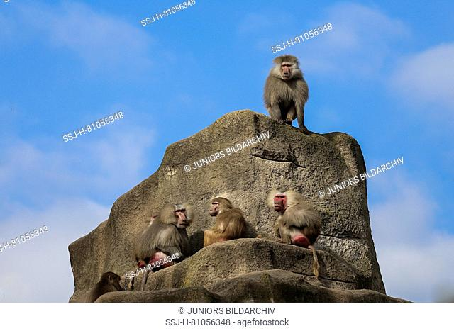 Hamadryas Baboon ( Papio hamadryas) , dominat male sitting on a rock above all other menbers of the group, Zoo