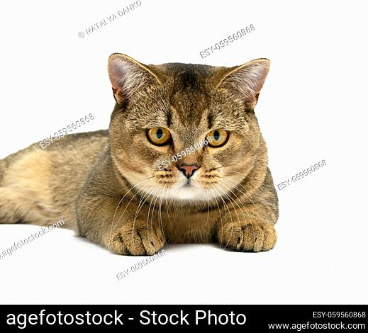 adult gray Scottish straight chinchilla cat lies on a white background, the animal looks at the camera and resting