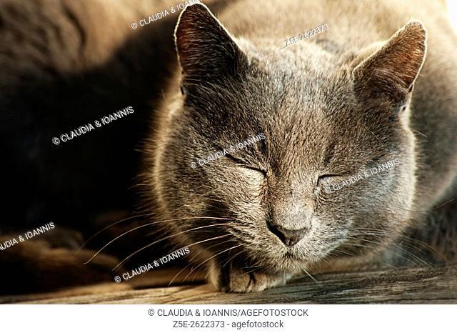Portrait of a sleeping Russian-blue cat