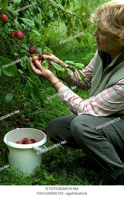 Woman picking Victoria plums