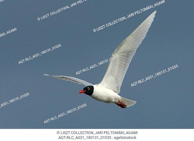 Mediterranean Gull adult flying, Mediterranean Gull, Ichthyaetus melanocephalus