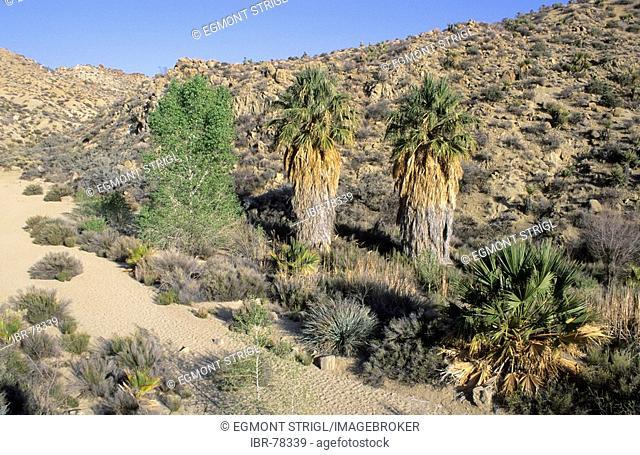 Palm trees at Cottonwood Canyon, Joshua Tree National Park, California, USA