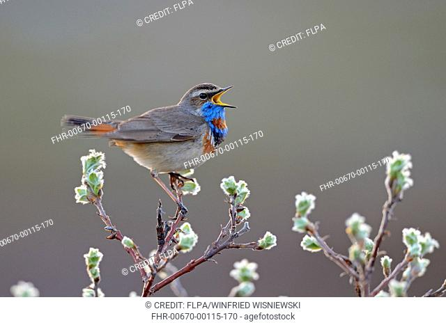 Red-spotted Bluethroat (Luscinia svecica svecica) adult male, singing, perched on twig, Norway, June