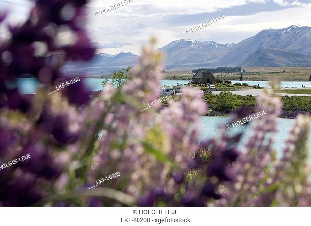 Lupines and The Church of the Good Shepherd in the background, Lake Tekapo, Mackenzie Country, South Island, New Zealand