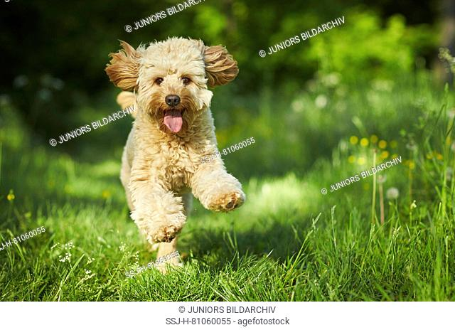 Miniature Labradoodle. Adult running towards the camera. Germany
