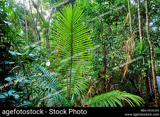 Piccabeen palm, Archontophoenix cunninghamiana, in the morning in the rainforest, in spring, Jumrum Creek Conservation Park, Kuranbda, Queensland, Australia