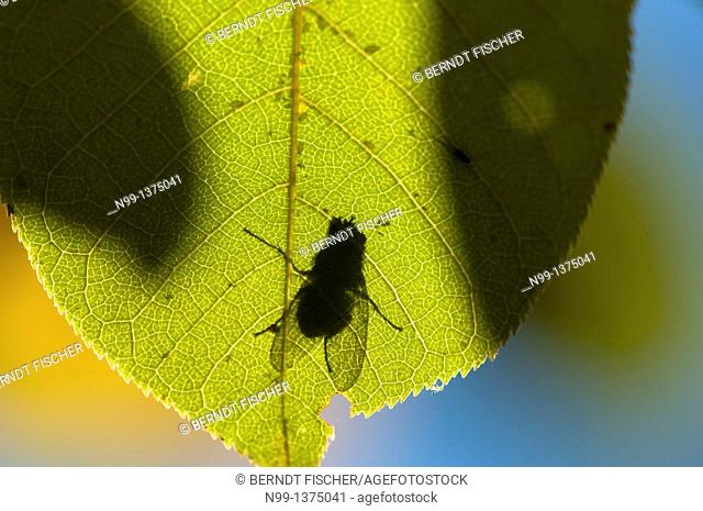 Leaf of Bird cherry Prunus padus with shadow of a fly, autumn, Bavaria, Germany