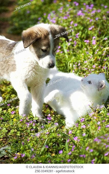A puppy is playing with a white kitten in a flower field
