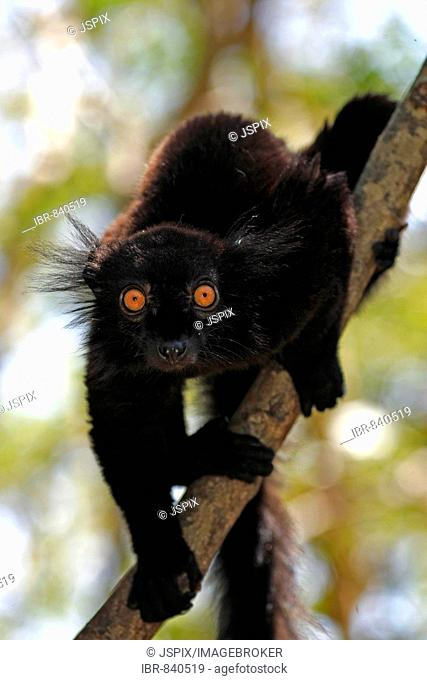 Black Lemur (Eulemur macaco), adult male in a tree, Nosy Komba, Madagascar, Africa