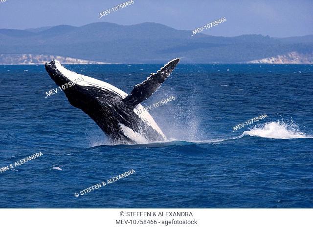 Humpback Whale - breaching female whale in front of Fraser Island's coast (Megaptera novaeangliae)