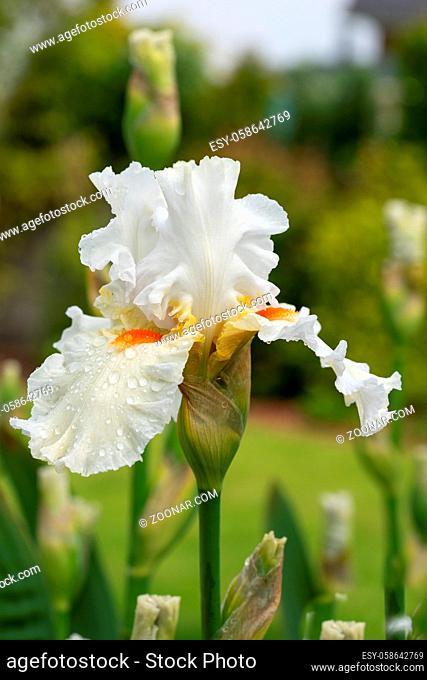 German iris (Iris barbata), close up of the flower head