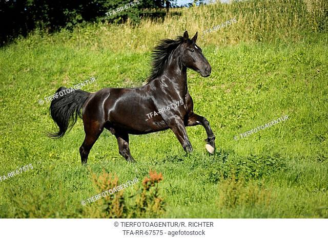 galloping Heavy Warmblood