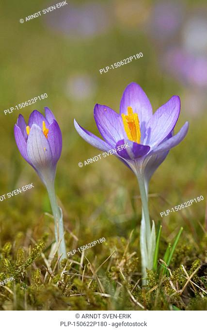 Two spring crocuses / Giant croci (Crocus vernus albiflorus) flowering in spring