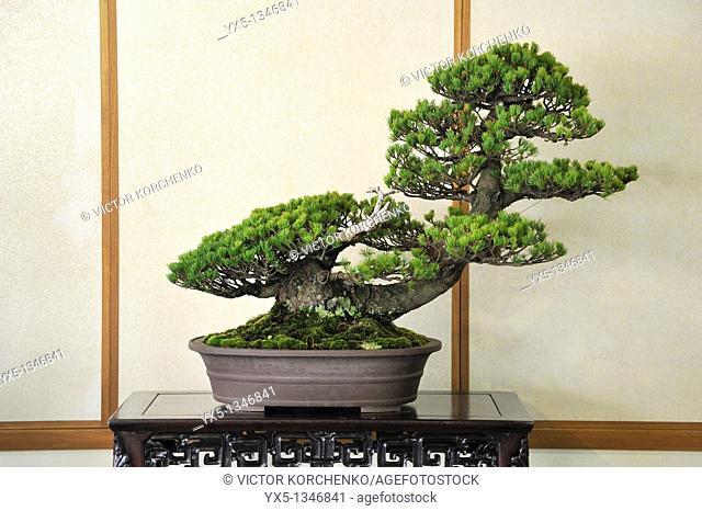 Miniature pine tree at bonsai show in Nikko
