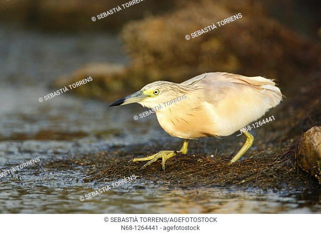 Squacco Heron Ardeola ralloides, Alcudia, Majorca, Spain
