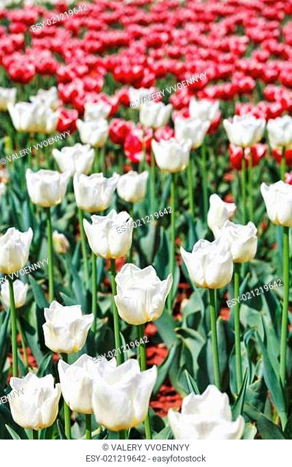 many red and white decorative tulips on flowerbed