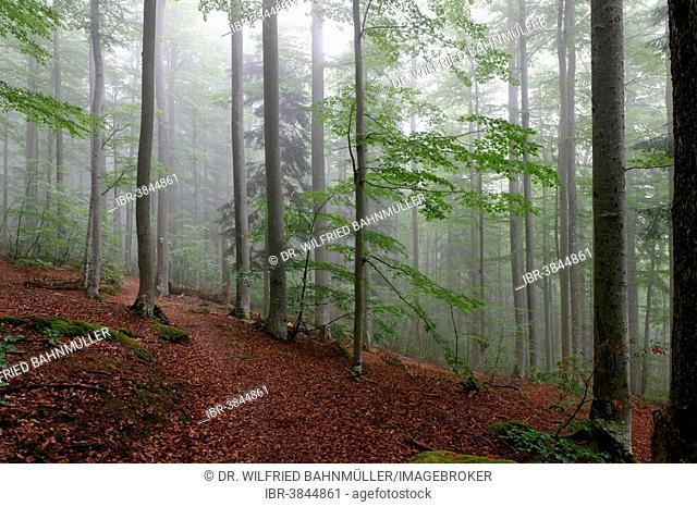 Misty forest, Bavarian Forest National Park, near Waldhäuser, Lower Bavaria, Bavaria, Germany