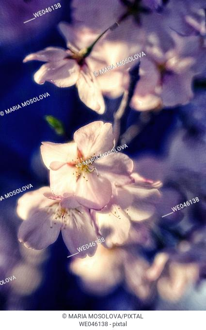 Prunus serrulata, cherry. April 2006, Maryland, USA