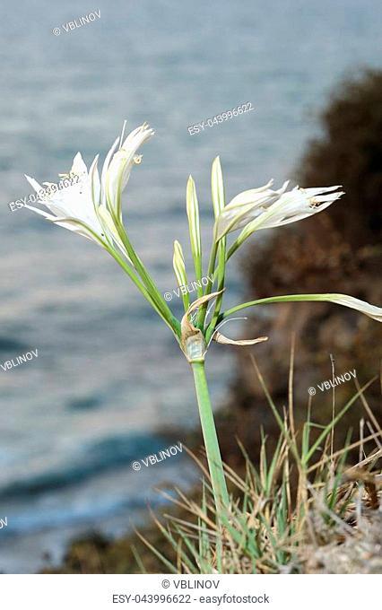 Large white flower Pancratium maritimum on the sandy shores of the Mediterranean Sea in Israel