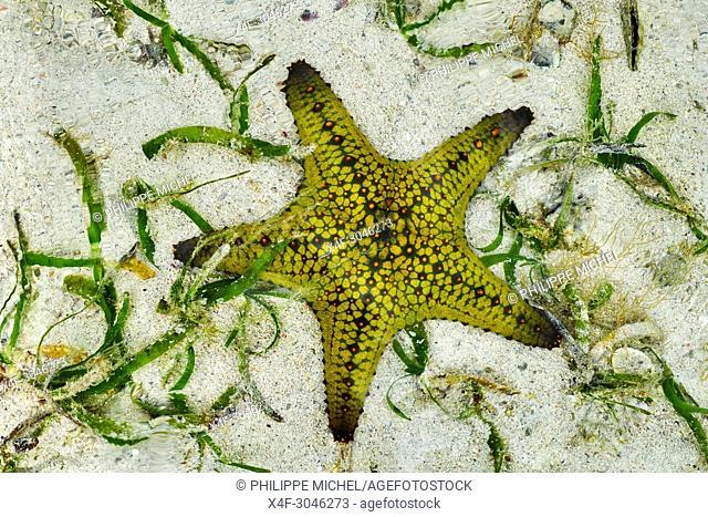 Tanzania, Zanzibar island, Unguja, Nungwi beach, starfish