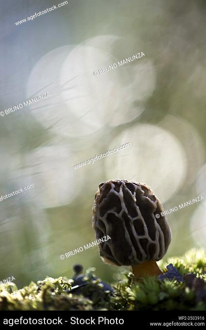 Mushroom (Morchella sp.)