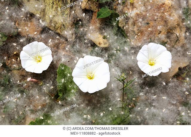 Bindweed flowers and fallen seeds in fluffy tufts of cotton from white poplar trees (Populus alba) Huelva province, Andalusia, Spain