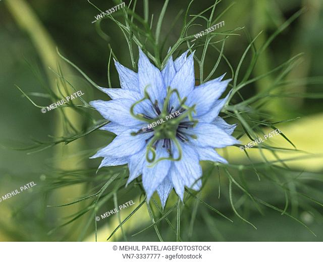 Close up of Nigella Damascena (Love in a mist) flower viewed from above