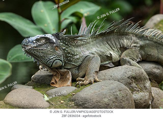 A very large adult Green Iguana, Iguana iguana, on a stone wall in a rainforest in Costa Rica. This lizard was more than 6 feet long and was shedding its skin