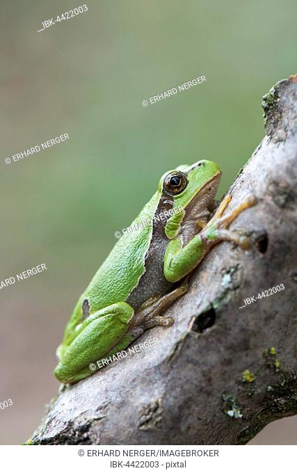 Tree frog (Hyla arborea) on branch, Rhineland-Palatinate, Germany