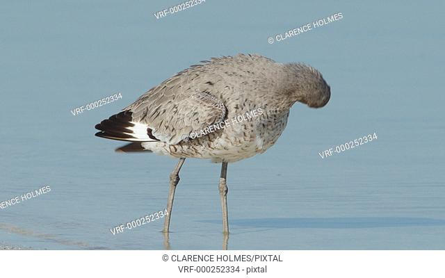 A Willet (Tringa semipalmata) preens its feathers while standing in shallow water