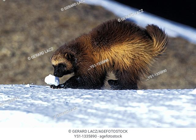 NORTH AMERICAN WOLVERINE gulo gulo luscus, ADULT PLAYING WITH SNOW BALL, CANADA
