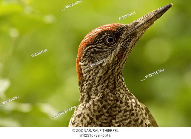 Young green woodpecker (Picus viridis)