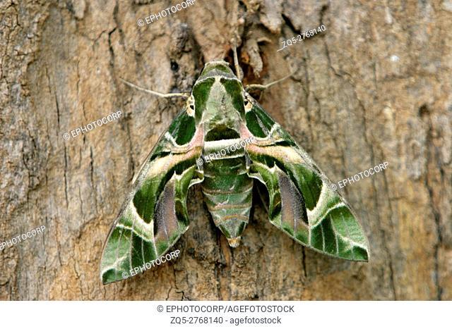 Hawk moth, Kanha National Park, Madhya Pradesh, India